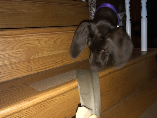 A German Shorthaired Pointer puppy smelling an adhesive tape that is being pulled off of a wooden step