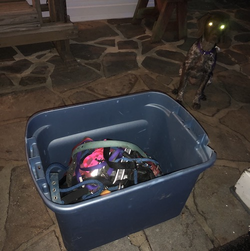 A plastic bin full of old dog leashes and collars outside on a stone porch with a GSP puppy sitting behind it