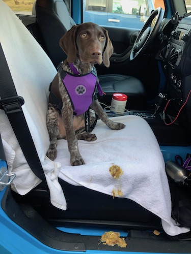 A German Shorthair Pointer puppy with a solid brown head sitting in the front seat of a car wearing a seatbelt with throw up down the side of the car