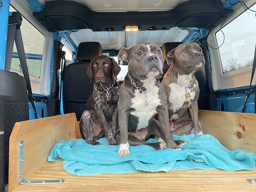 Three dogs in the back of a blue jeep wearing chain collars, a German Shorthair Pointer, an American Bully and a Pit Bull