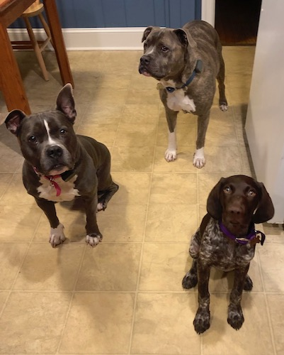 A German Shorthair Pointer Puppy, a Pit Bull and a gray American Bully standing in a kitchen on a linoleum floor in a kitchen