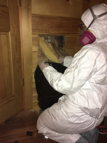 A person in a white hazmat suit wearing a pink 3M filterette fiberglass-free respirator on their knees pulling out a yellow batt of fiberglass insulation from behind a wooden wall and putting it into a black contractor bag.