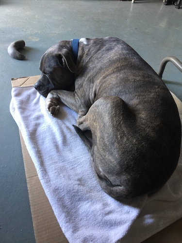A blue nose brindle pit bull dog sleeping on a white cotton towel on cardboard with a hoof chew near him